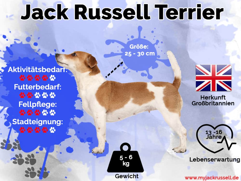 Jack Russell Infografik