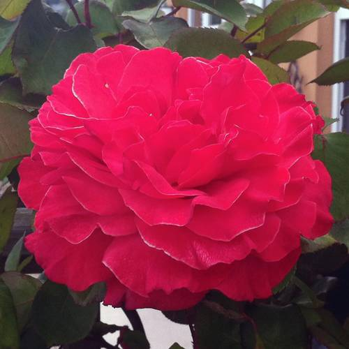 High Society Climbing Rose