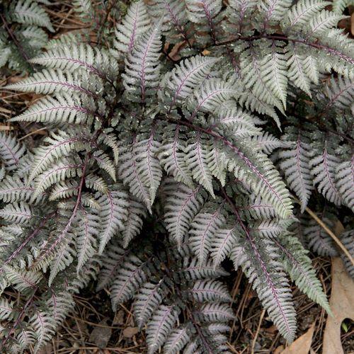 Painted Ferns Varieties