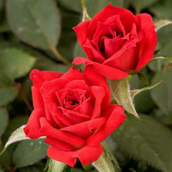 39Sorcerer39 Miniature Rose