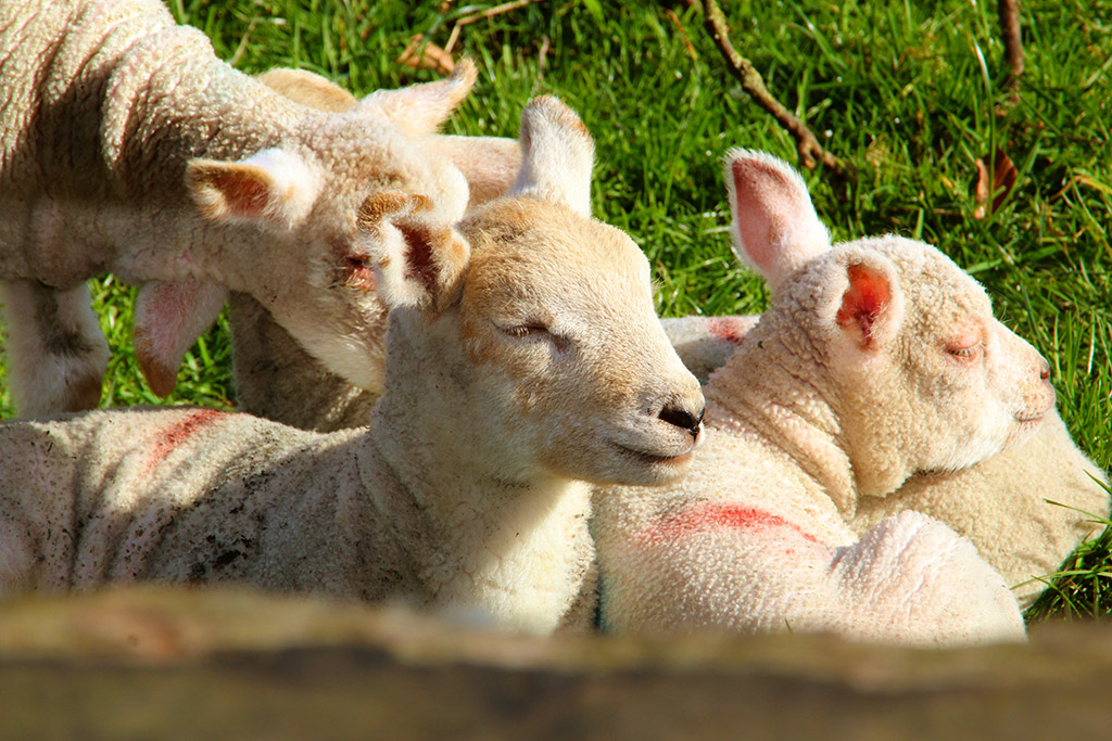 I sneaked up on these dozing new-born lambs