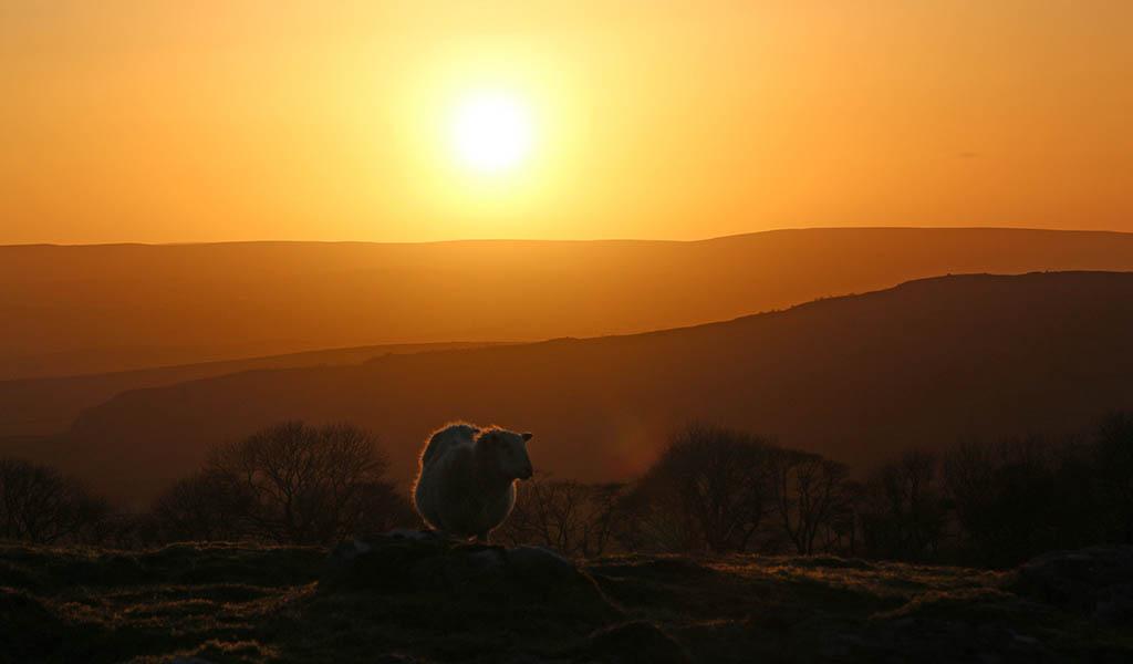 MAR Sheep at sunset