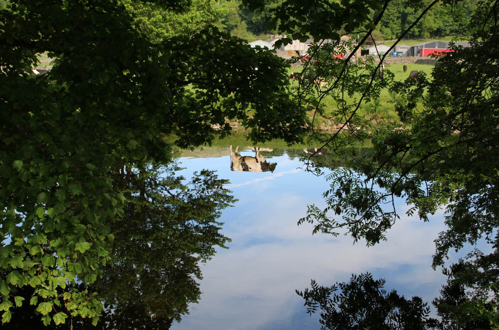 Hidden cow reflected in the Ribble