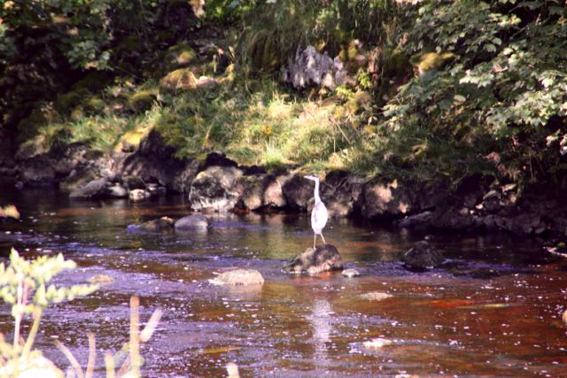 Grey heron on Ribble
