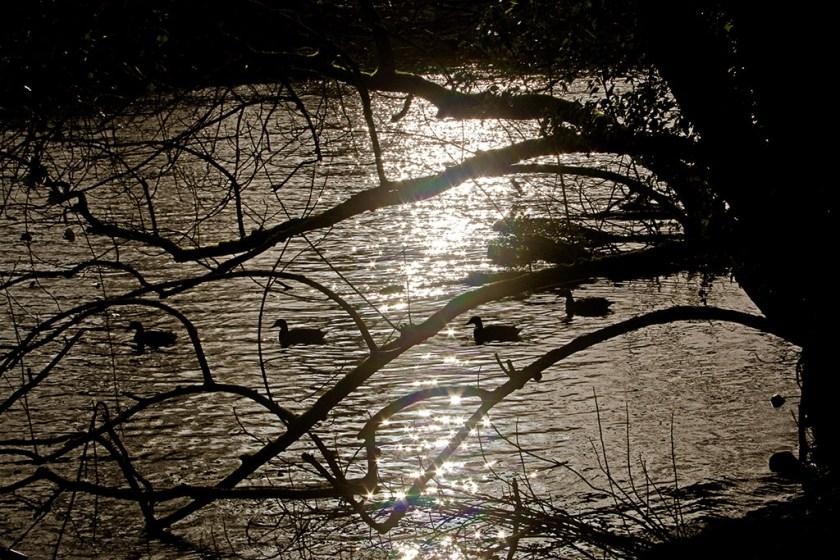 ribble ducks