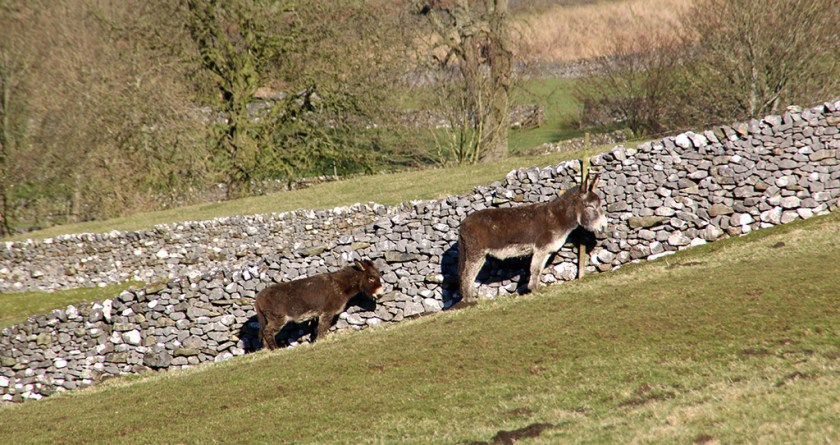 ingleborough donkeys
