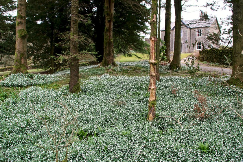 ribblesdale snowdrops