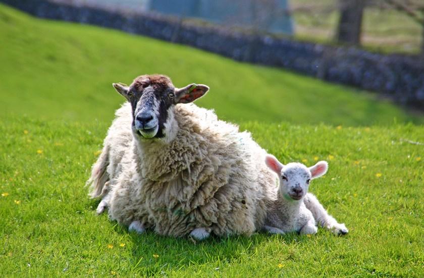Yorkshire lamb