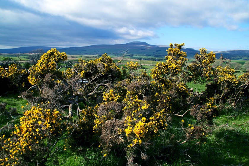Ribblesdale gorse