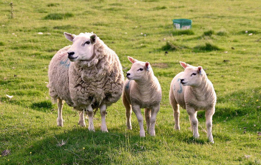Dales sheep