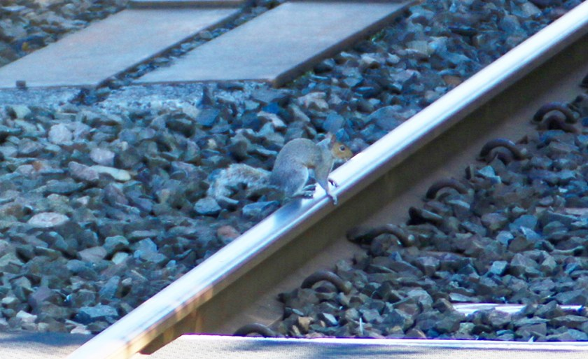 dales squirrelrail