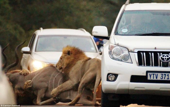 Os dois felinos lutam com a sua captura bem próximo dos carros dos turistas - foto