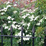 Clapham Manor Street front garden