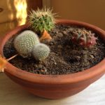 Cacti mini garden