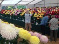 National Dahlia Society Annual Show 2014, RHS Wisley