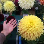 National Dahlia Society Annual Show 2014 at RHS Wisley