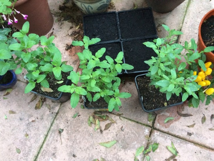 Salvia microphylla 'Cerro Potosi', Salvia 'Raspberry Royale', Salvia 'Maraschino'