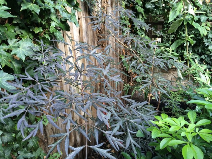 Sambucus niger has grown well this year. Will cut right back in spring to help it bush out more.