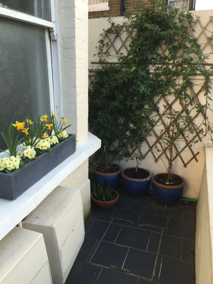 Front window area still looking good. The Clematis has some serious numbers of buds emerging now. Hoorah!