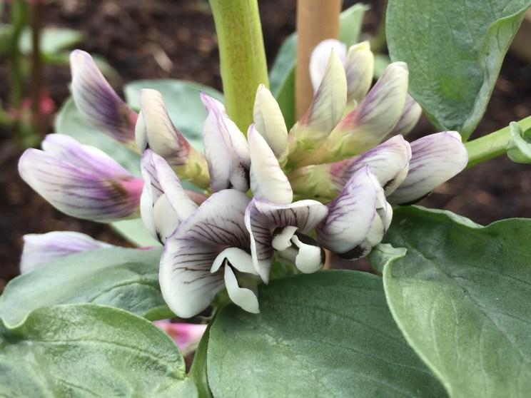Vicia faba 'Aquadulce Claudia' flowers