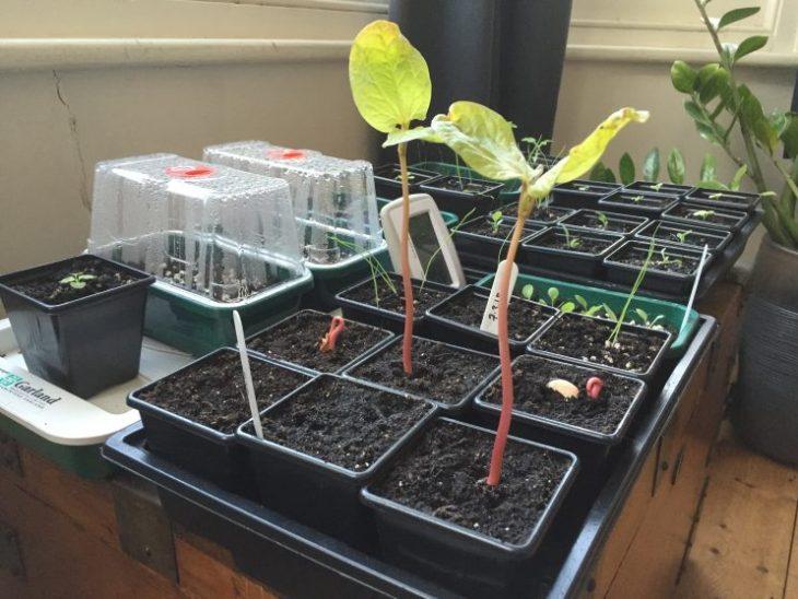 Ricinus communis 'Carmenchita' growing strong