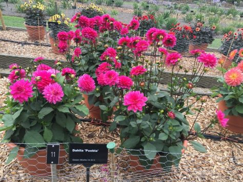 national-dahlia-collection-rhs-wisley-201502