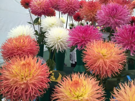 national-dahlia-collection-rhs-wisley-201524