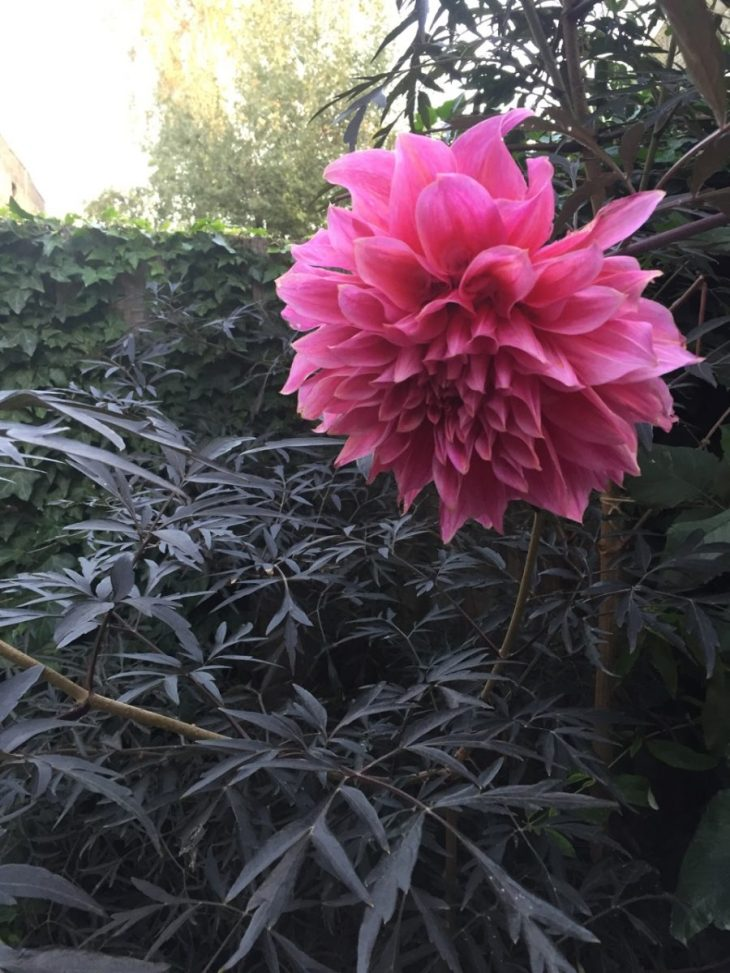 Sambucus and dahlia