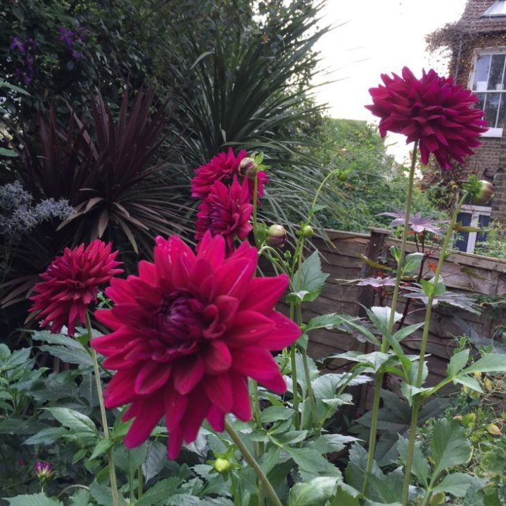 Dahlia 'Blackberry Ripple'