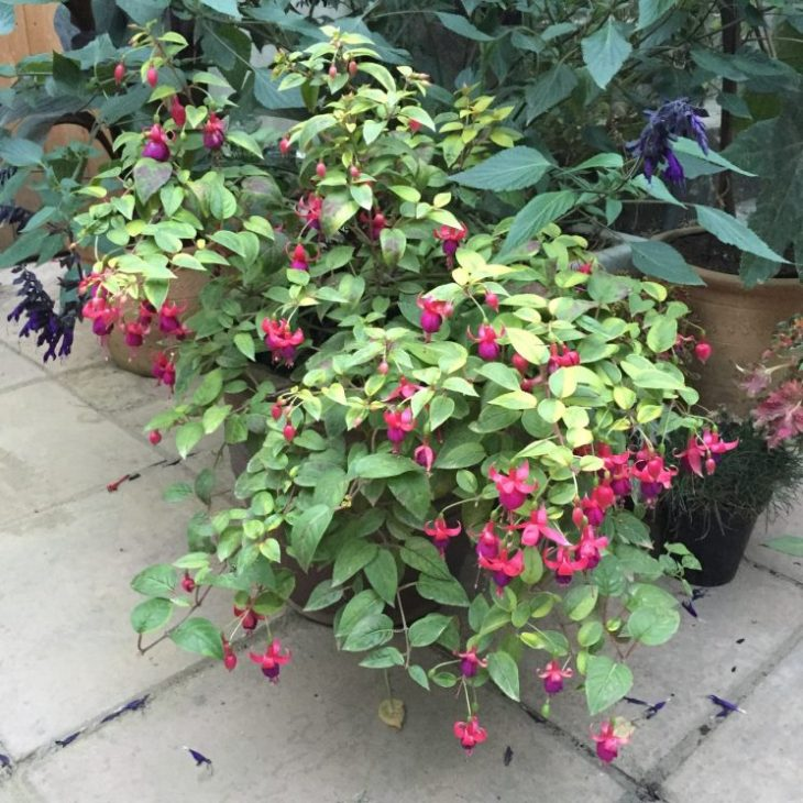 Fuchsia 'Golden Treasure'