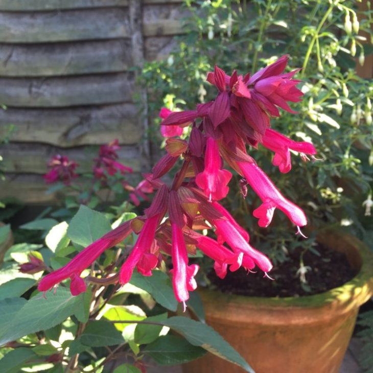 Salvia 'Wendy's Wish'