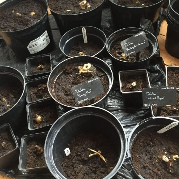 Dahlia tubers planted in pots
