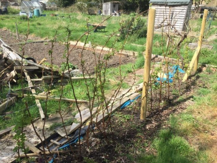 Raspberry supports allotment
