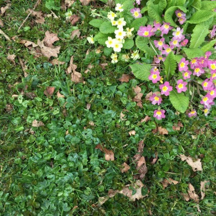 Primula vulgaris at Rousham