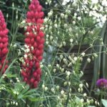 Who died and made Lupins a 'cottage garden' plant?