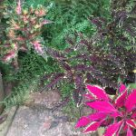 Easily multiply your Solenostemon with midsummer cuttings