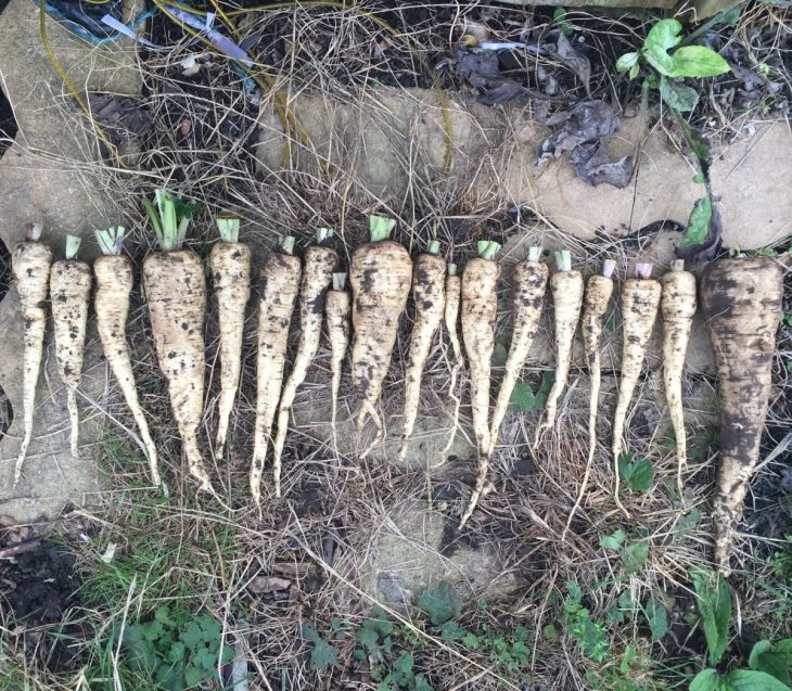 Parsnips, Pastinaca sativum 'Gladiator' Jack Wallington allotment