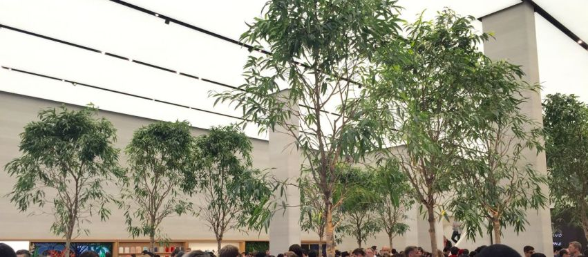 Apple iTree: the botanical trend reaches new heights with Ficus maclellandii 'Alii'