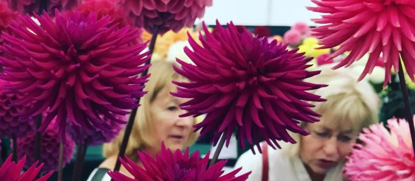 National Dahlia Society Annual Show 2017 at RHS Wisley
