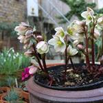 Pot's growing on in February: Hellebores, Snowdrops and vigorous perennials forcing changes