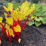How to grow organic rhubarb and cook it – the tastiest around!