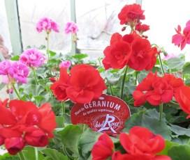 EXCELLENCE VEGETALE - geranium_label_rouge (1) corrige