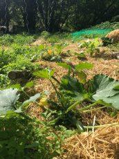 Plants de courgettes