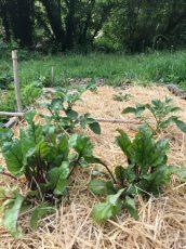 Plants de betterave