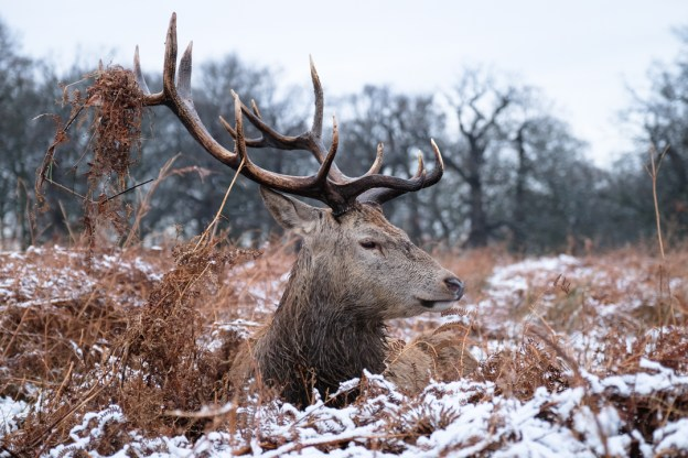 London, United Kingdom. 17th January, 2016. A red deer stag chills in snow-covered bracken in Richmond Park. © Jacqueline Lau/Alamy Live News