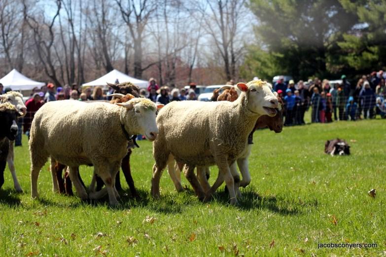 Herding demo at the Sheep Shearing Festival