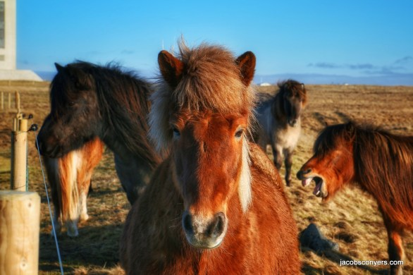 "The icelandic horse in the foreground is posing all regally, while the one in the back says ""heehaw."""