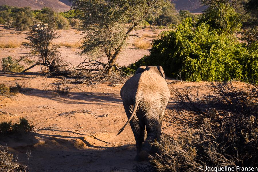 Op zoek naar de woestijnolifant