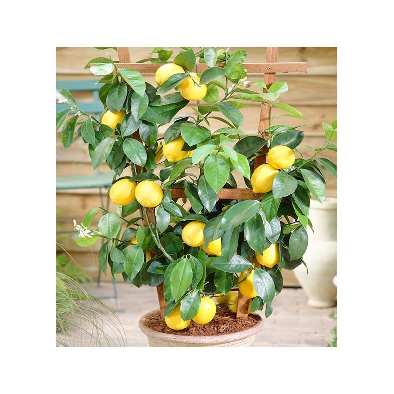 citronnier des 4 saisons plante en ligne