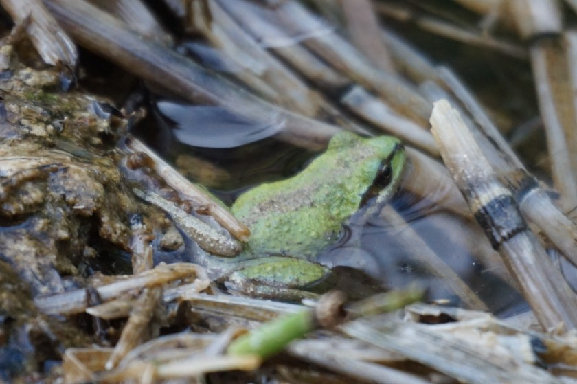 There are dozens of Pacific Treefrogs clinging to the reeds along the trail